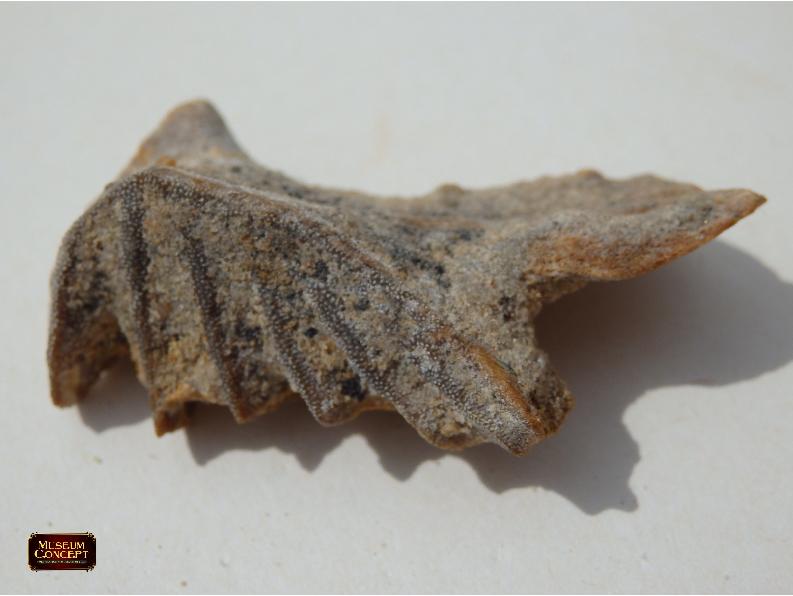African lungfish teeth